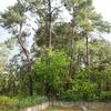 Talar pinos