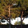 Podar 3 pinos en utrera