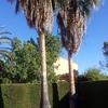 Poda palmeras poblá vallbona valencia
