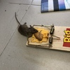 Desratización de ratones