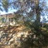 Podar las ramas bajas de pino de grandes dimensiones