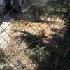Desbrozar Jardín de 150 M2, y Replantar Cesped y 2 Arizónicas