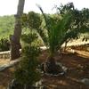 Poda de pinos en alcossebre (castellón)