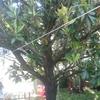 Poda de un magnolio de hoja perenne en zarautz