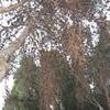 Talar pino procesionario  de 15 mtrs