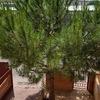 Talar un pino en jardín vivienda unifamiliar