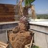 Arrancar árboles muertos