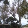 Podar dos eucaliptus es
