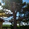 Tala de pino en grisén (zaragoza)