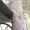 Poda y/o corta de pinos en casa de campo