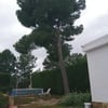 Talar pino a cambio de la leña
