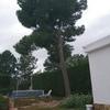 Talar pino en parcela privada