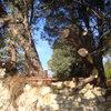 Corta pino de 20m