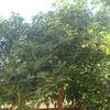 Podar 2 árboles aguacates