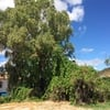 Poda eucalipto