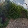 Poda arizonicas
