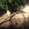Arreglar arbol buganvilla