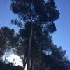 Talar un pino