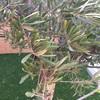 Problema con olivo plantado