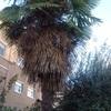 Podar 3 palmeras