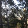 Talar pinos torcidos