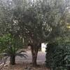Podar olivo