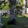 Cortar el pino de la foto por problemas que ocasiona en el pavimento
