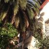 Podar gran palmera en bilbao