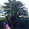 Talar palmeras