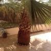 Arrancar palmera