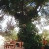 Cortar un pino de 30 años