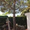 Arrancar pino y palmera