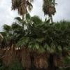 Podar 10 palmeras whasingtonia