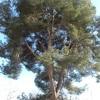 Cortar pino