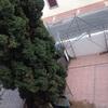 Tala de ciprés 10m
