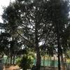 Quitar un pino de una parcela