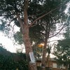 Realizar la poda pinos y abeto