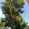 Tala de ramas de pino