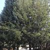 Talar 3 árboles aizónicas en torrejón de ardoz
