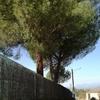 Poda de tres pinos en altura