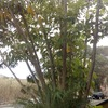 Recortar árbol ficus patio entrada