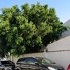 Talar 1 árbol