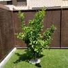 Transplante de árboles pequeños