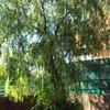 Podar un árbol