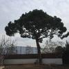 Podar pino en ripollet