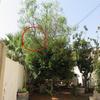 Podar un árbol cuya rama en breve podría invadir el patio de mi vecino.