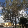 Poda ornamental de dos olivos pequeños