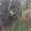 Poda arizónicas urb la cabaña (pozuelo)