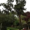 Tala de varios pinos altos