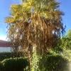 Limpieza palmeras